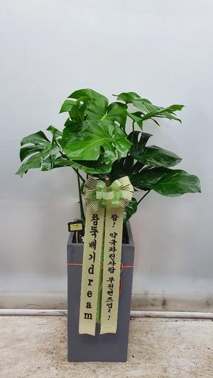 관엽식물(실내사무실&가정) 몬스테리아
