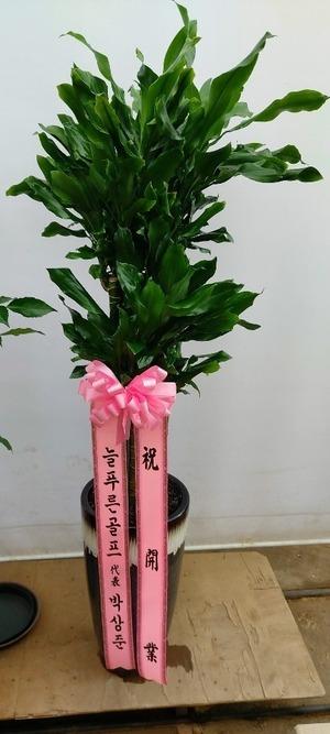 관엽식물(실내사무실&가정) 황금죽