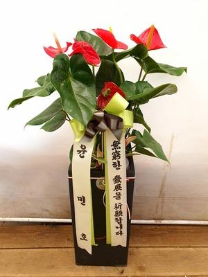 관엽식물(실내사무실&가정) 안스리움