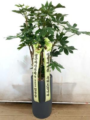 관엽식물(실내사무실&가정) 팔손이