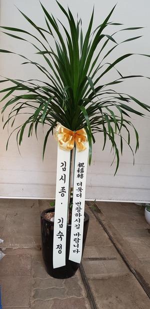 관엽식물(실내사무실&가정) 드라코