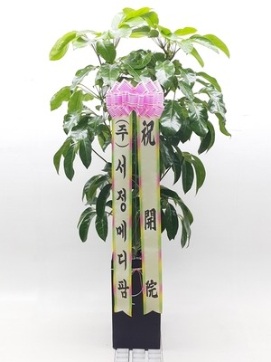 관엽식물(실내사무실&가정) 대엽홍콩