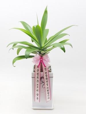 관엽식물(실내사무실&가정) 아테누아타