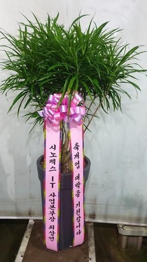 관엽식물(실내사무실&가정) 자바