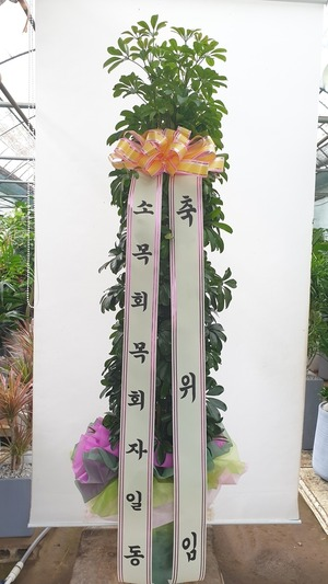 관엽식물(실내사무실&가정) 홍콩야자