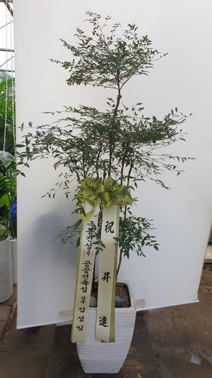 관엽식물(실내사무실&가정) 남천