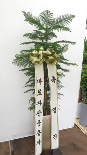 관엽식물(실내사무실&가정) 아로우카리아