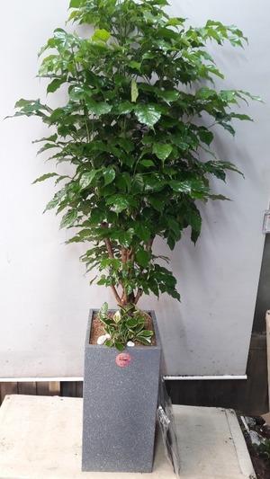 관엽식물(실내사무실&가정) 녹보수