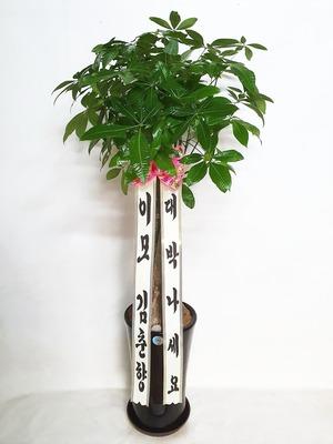 관엽식물(실내사무실&가정) 파키라