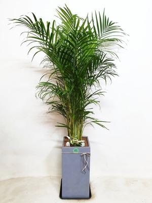 관엽식물(실내사무실&가정) 아레카야자