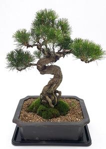 소나무분재-9