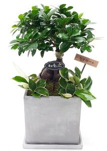 인삼팬다 실내공기정화식물