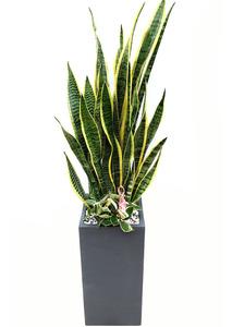 산세베리아 실내공기정화식물