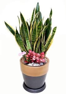 산세베리아-공기정화식물