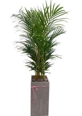 실내공기정화식물 아레카야자