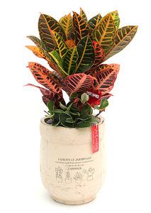잎크로톤-개업축하화분