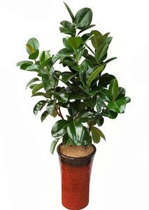 실내관엽식물 고무나무-가지
