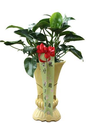 콩고마블 공기정화식물