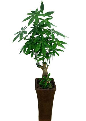 파키라미니목근