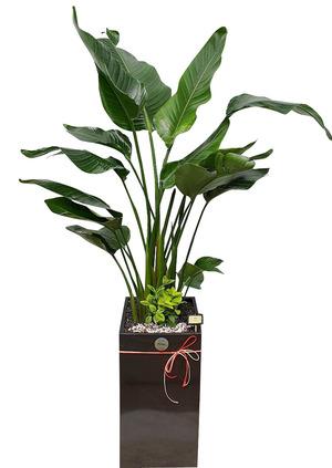 극락조 실내인테리어식물