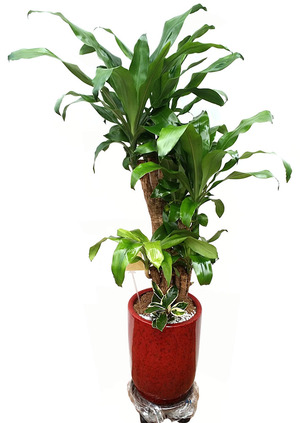 행운목-가지목 식당개업화분