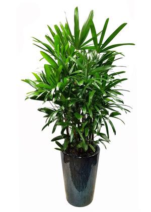 관음죽 실내공기정화식물