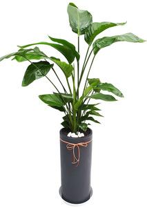 극락조-실내공기정화식물