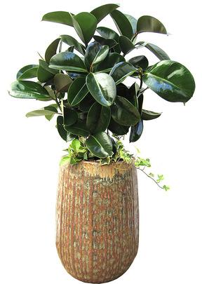 개업축하화분 고무나무