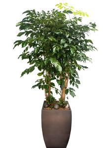 실내공기정화식물 녹보수특