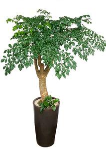 해피트리가지목 실내식물