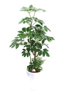 대엽홍콩가지목