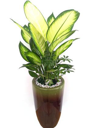 마리안느 실내식물